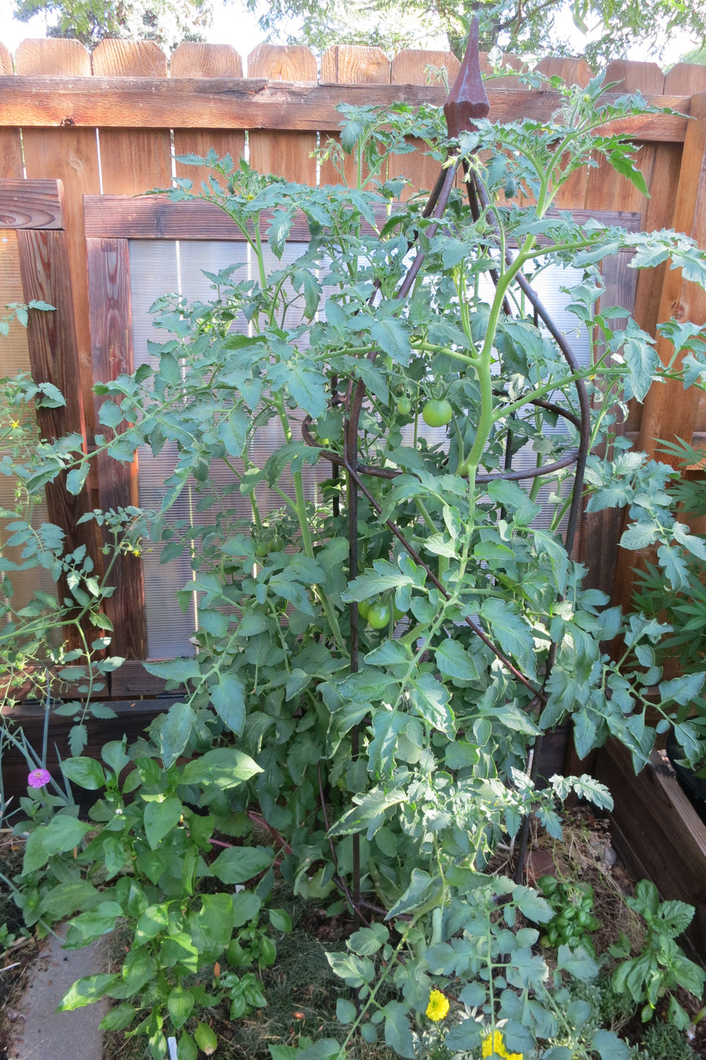 Is it too late to start tomatoes? Here's a healthy tomato plant.