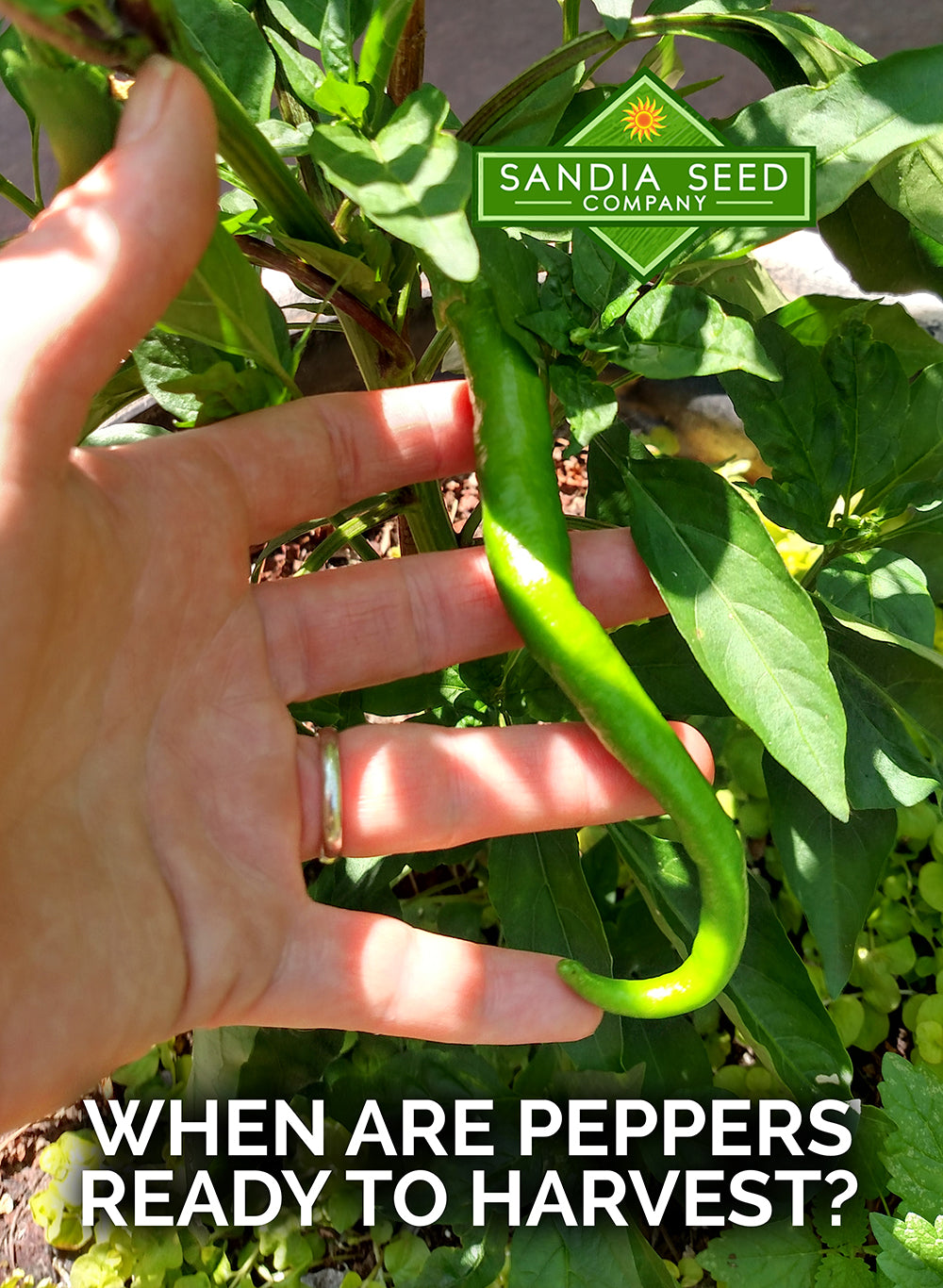 When are peppers ready to harvest?
