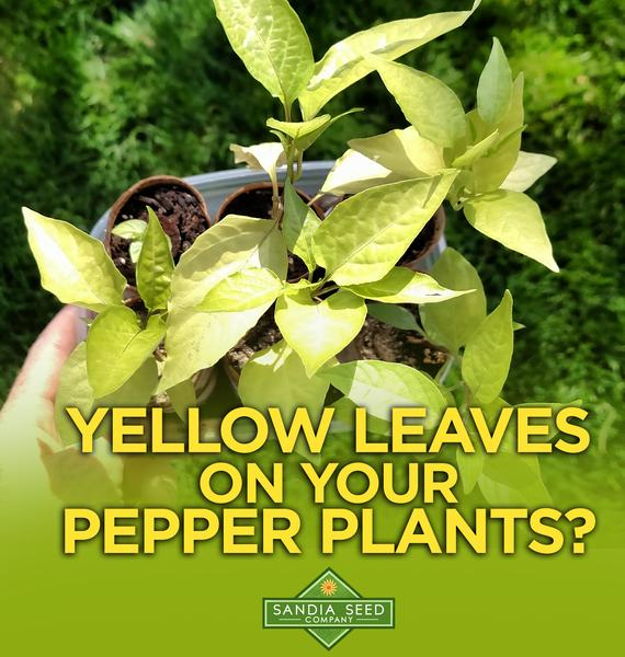 Watering Peppers: Yellow Leaves from Overwatering