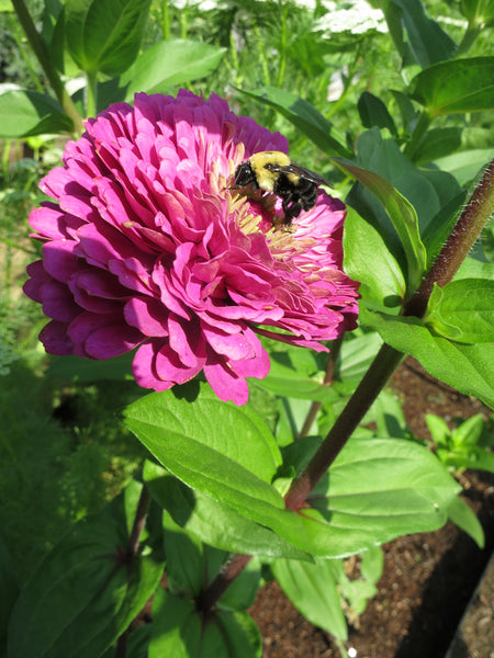Pepper Plant Companions – Flowers for Pollinators