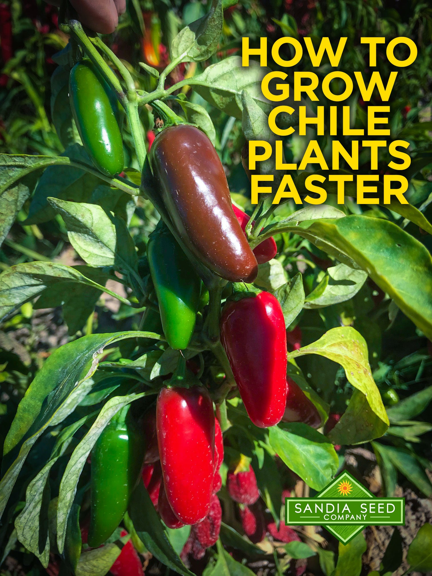 10 Seeds Seeds Pepper Jalapeno Spicy Hot Pepper Chilli Pepper