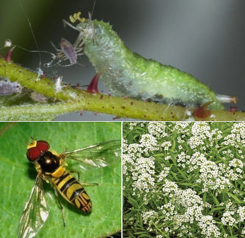 Plants that Attract Beneficial Insects - Sweet Alyssum for Aphids