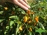 Datil Pepper Seeds - Sandia Seed Company