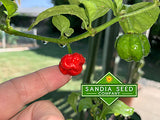 Dragon's Breath Pepper Seeds - Sandia Seed Company