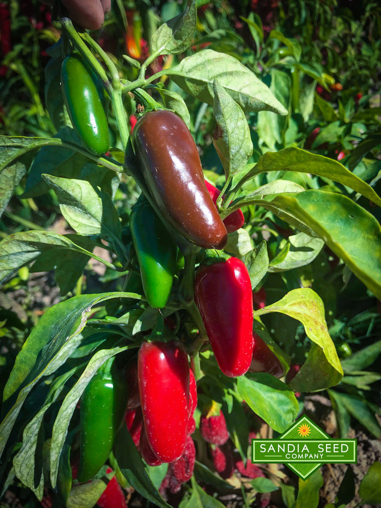 Chillies /& Peppers Seeds Cayenne Sweet Pepper Wonder Jalapeno 4 in 1 Packet