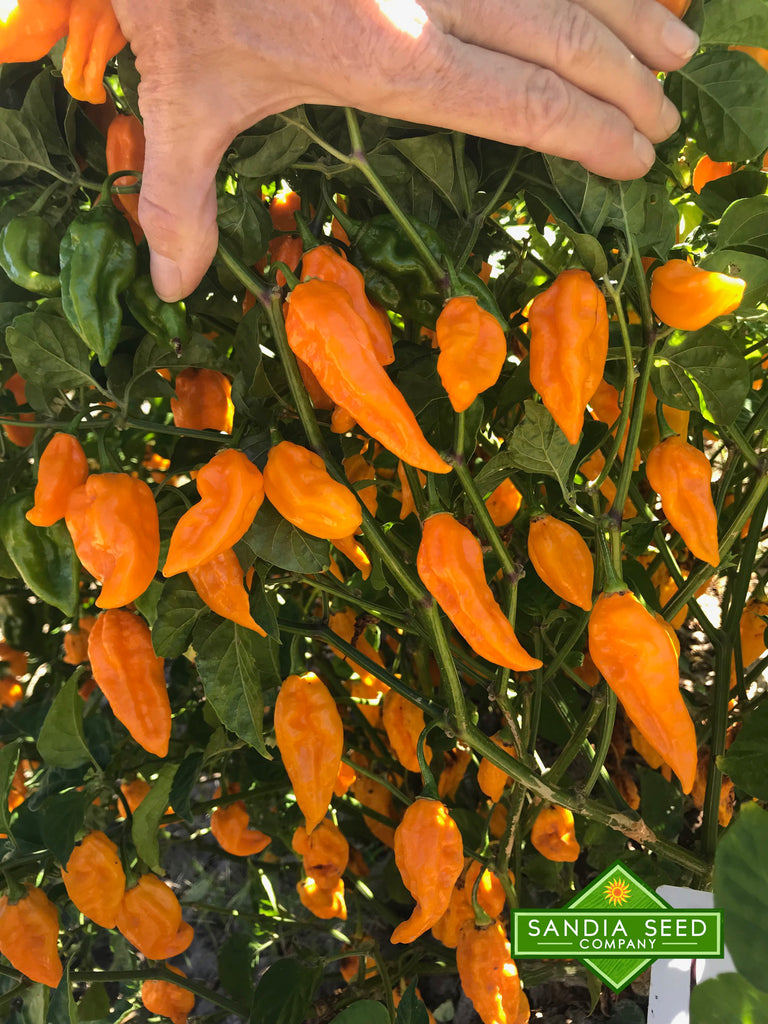 Fatalii Heirloom Pepper Seeds - Sandia Seed Company