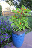 NuMex Twilight Peppers - great for containers!