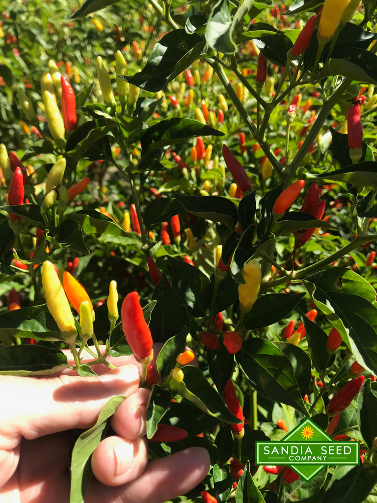 Tabasco Pepper Seeds - Sandia Seed Company