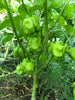 Scotch Bonnet Yellow Pepper Seeds - Sandia Seed Company