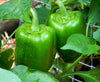 Bell Green Cal Wonder Sweet Pepper Seeds - Sandia Seed Company