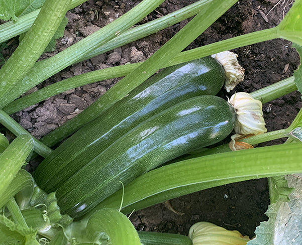 Summer Squash - Black Beauty Zucchini Seeds - Organic