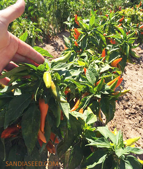 Bulgarian Carrot Pepper Seeds - Sandia Seed Company