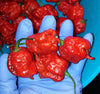 3 Pack - Ghost Pepper, Reaper & Moruga Seeds 15% Off - Sandia Seed Company
