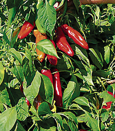 Hatch Red Medium - Joe E. Parker Chile Seeds - Sandia Seed Company