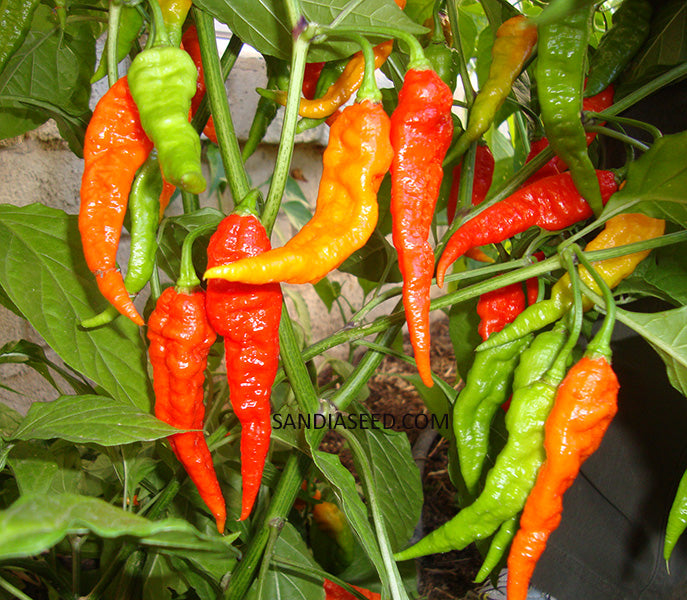 Bhut Jolokia Red Ghost Pepper - 100 Seeds BULK - Sandia Seed Company