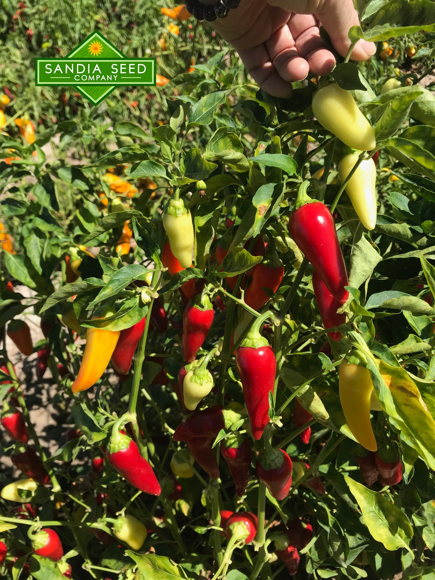 Wax Peppers: Santa Fe Grande Pepper