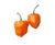 NuMex Trick or Treat Habanero - No Heat - Pepper Seeds - Sandia Seed Company
