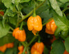 Trinidad Scorpion Yellow (CARDI) Pepper Seeds - Sandia Seed Company