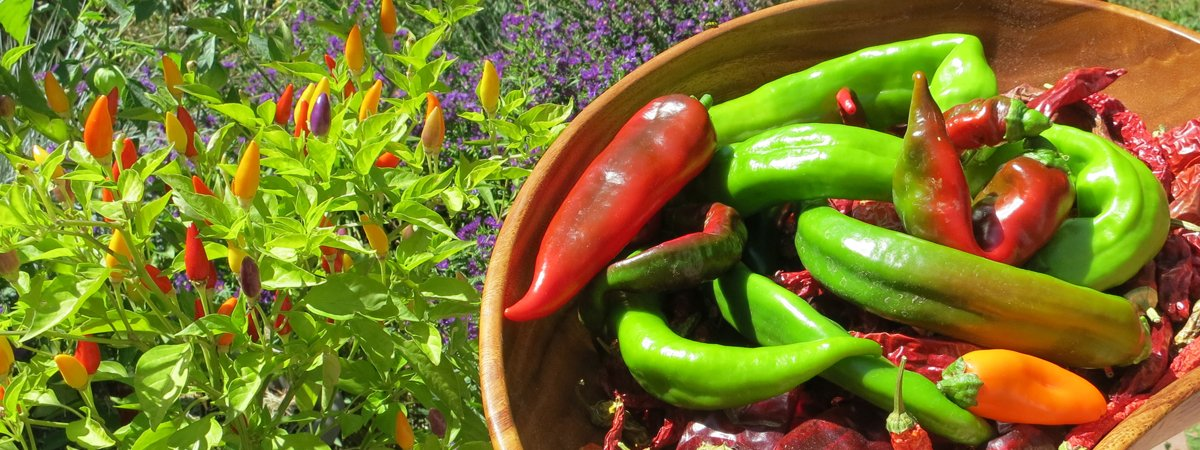GMO-Free & Organic Hot Pepper Seeds