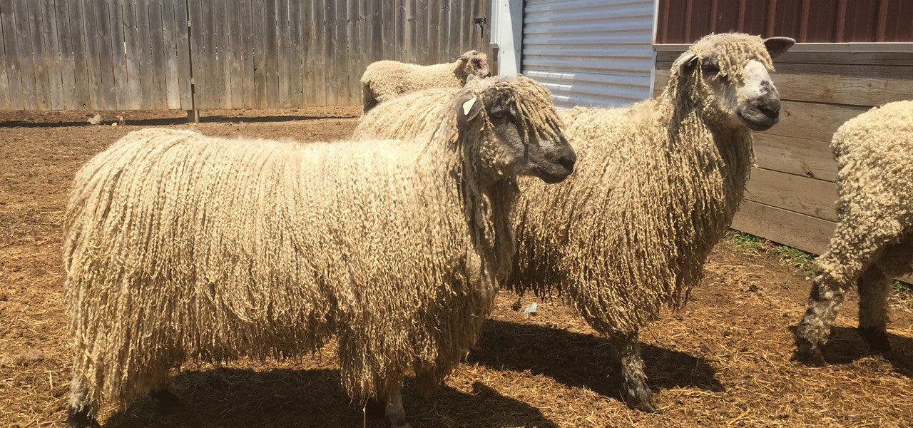 Teeswater Sheep at Susan's Fiber Shop