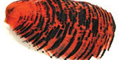 Wapsi Golden Pheasant Tippet Section