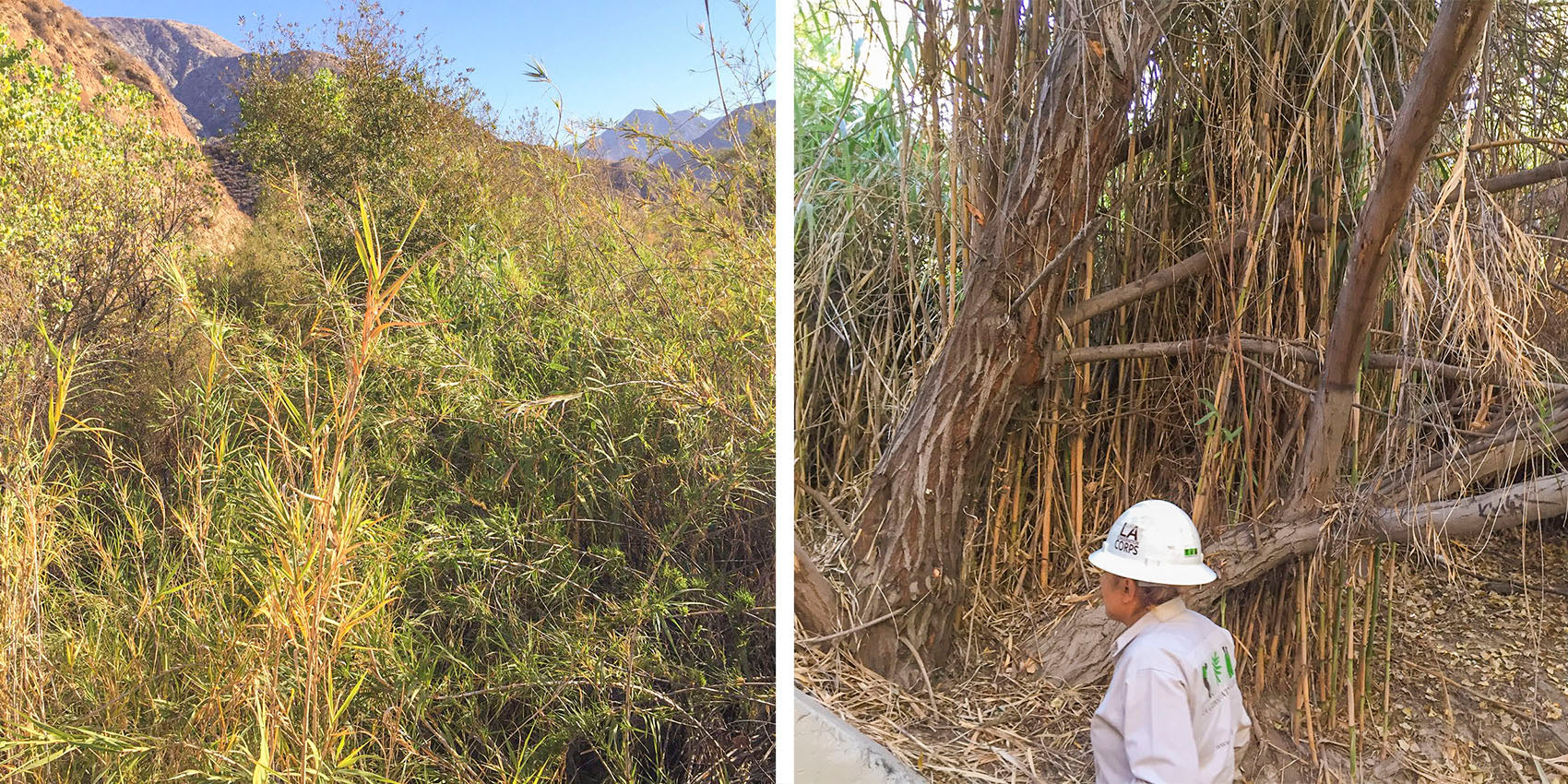 Arundo Invasive Species | Parks Project and the LA Conservation Corps
