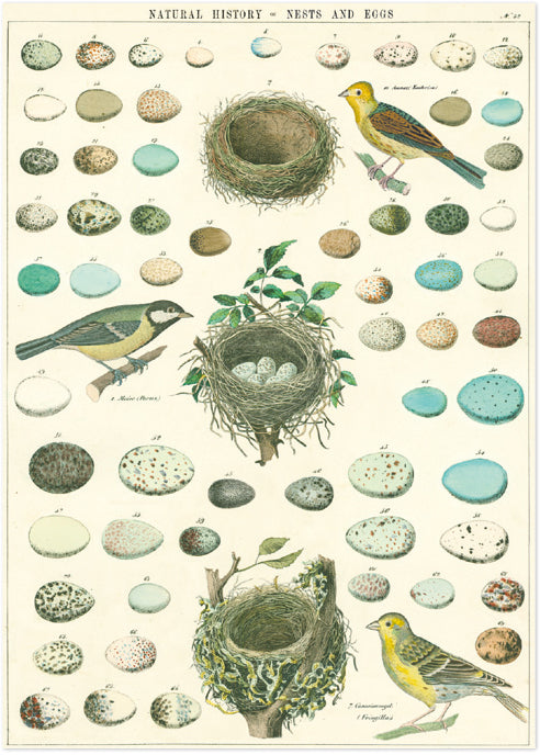 Natural history nest & birds Vintage Poster & Gift Wrap