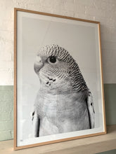 Load image into Gallery viewer, Budgerigar