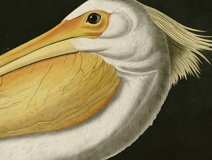 Erstwhile 'American Pelican' Wall Chart
