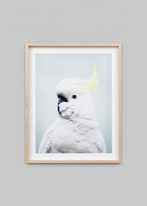 Sulphur Crested Cockatoo - Blue