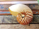 Polished Nautilus Shell