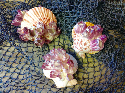 Colorful Pecten with Barnacles