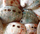 Polished Small Red or Green Abalone Shell