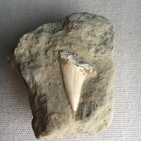 Small Shark Fossil
