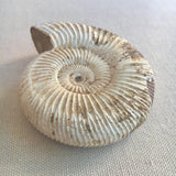 Natural Ammonite Fossil