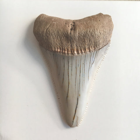 Fossil Great White Shark Tooth