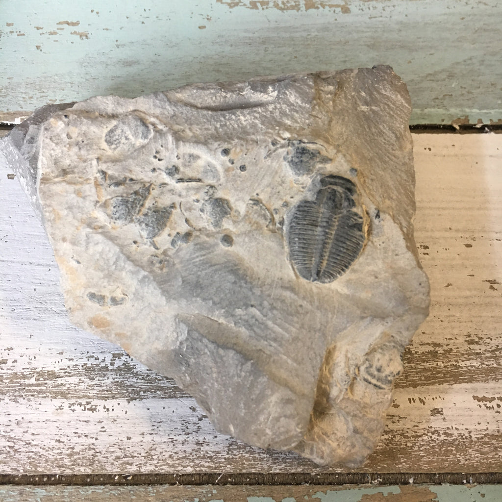 Fossil Trilobite in Matrix