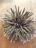 Sea Urchin with Spines