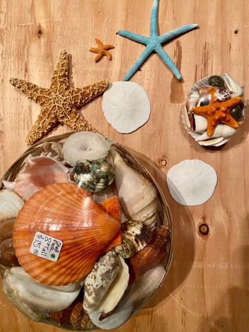 Special Sand dollar Starfish Seashell Collection