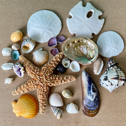 Sand dollar Starfish Seashell Collection