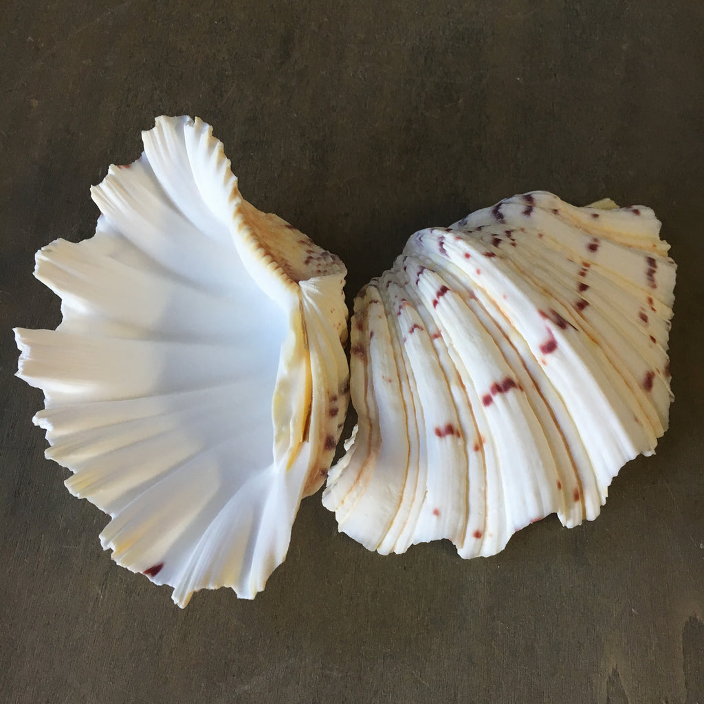 Bear Paw Clam Shells