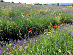 New Lavender Fields in June Sault Provence France