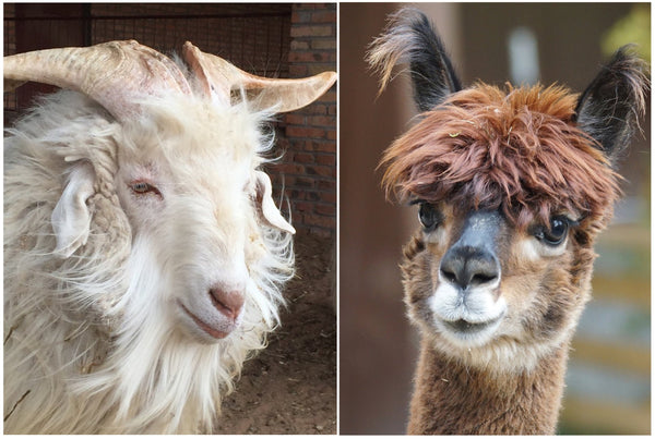 Alpaca vs. Cashmere: What's the Difference?