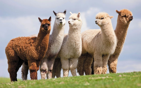 What's So Special About Alpaca Wool?