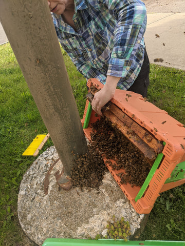 Lesli, in a plaid shirt, is holding an orange box with two beeswax frames. She is trying to sweep the bees into the box, bare-handed.
