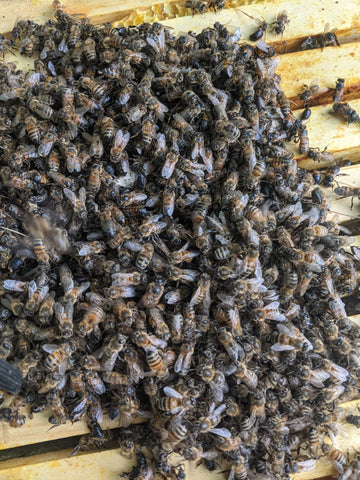 A bunch of honey bees clustered on top of the frames of a beehive.