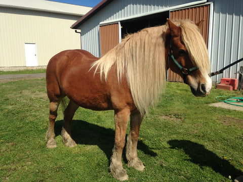 Therapy Horse Sam at LoveWay Inc Middlebury IN