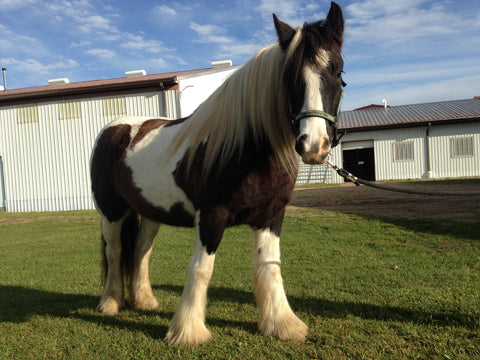 Mac the Gypsy Gift Horse at LoveWay