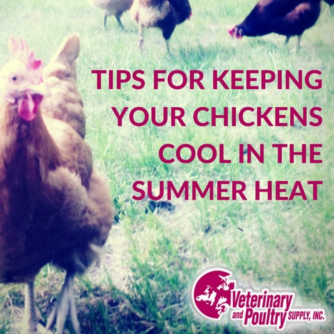 Tips for Keeping Backyard Chickens Cool