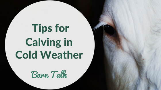 Calving in Cold Weather Tips